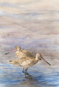 Rod Busch, Marbled Godwit, watercolor on paper